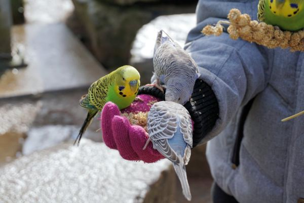 Tips For Taming A Budgie