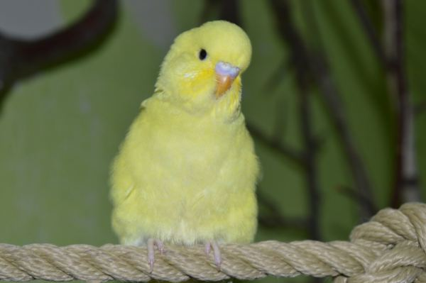 How To Help A Quiet Budgie