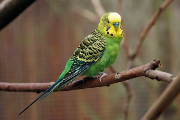What To Do With A Dead Budgie