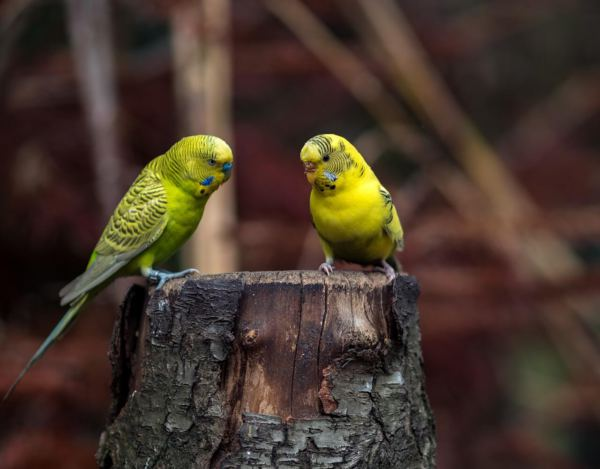 do budgies need another budgie?