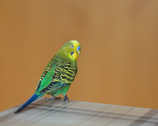 How to help grieving budgies