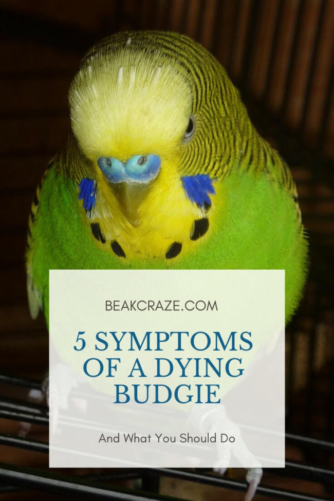 Is My Budgie Dying?