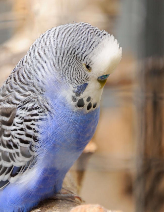 why are mirrors so bad for budgies?