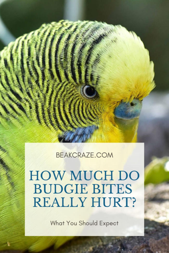 Does It Hurt When A Budgie Bites?