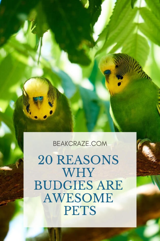 20 Reasons Why Budgies Are Awesome Pets