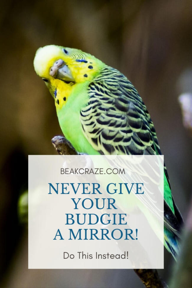Should You Give Your Budgie A Mirror?