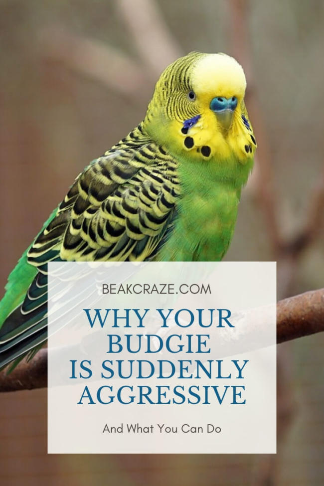 Why Is My Budgie Suddenly Aggressive?