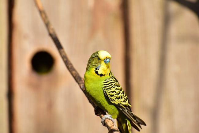 Why Your Budgie Is Suddenly Aggressive – Beak Craze