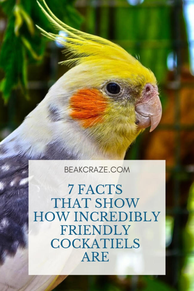 Are Cockatiels Friendly?