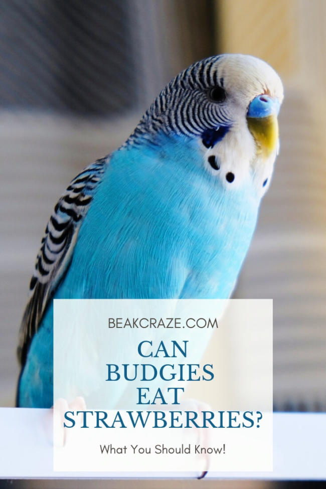 Can Budgies Eat Strawberries?