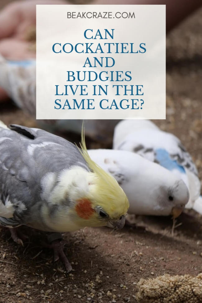 Can Cockatiels And Budgies Live In The Same Cage?