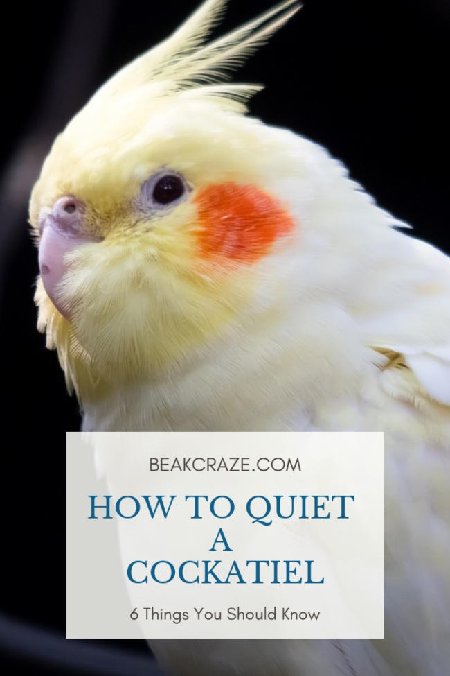 How To Quiet A Cockatiel