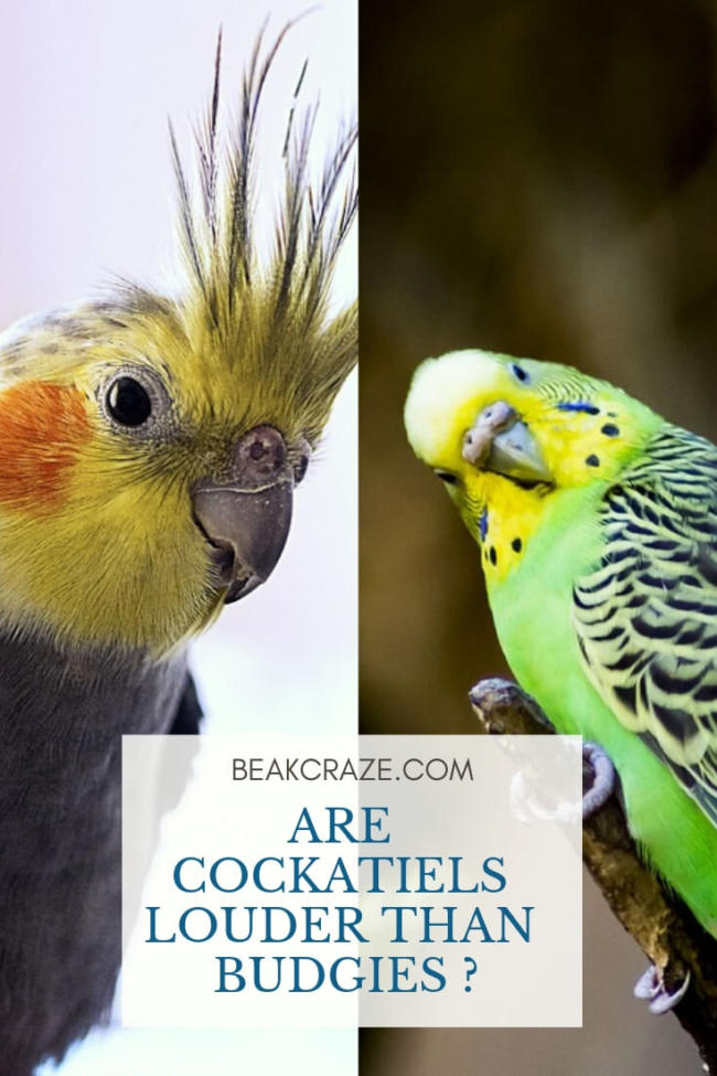 Are Cockatiels Louder Than Budgies? – Beak Craze