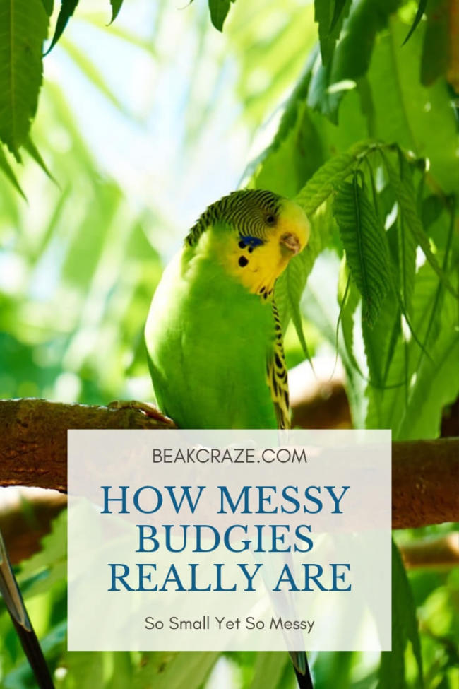 Are Budgies Messy?