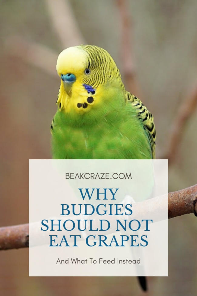 Can Budgies Eat Grapes?