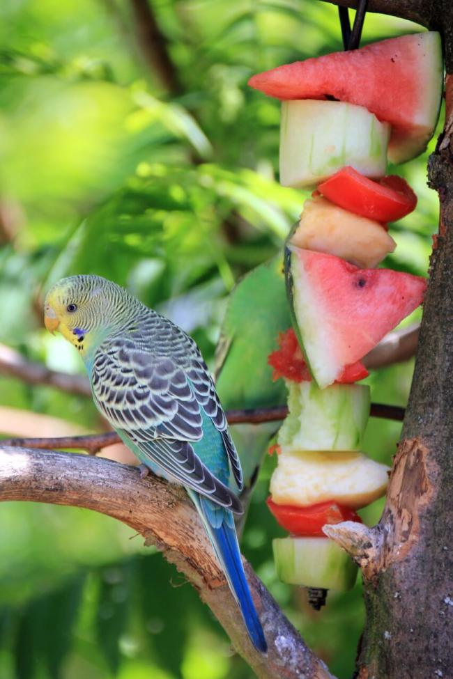 Budgies And Fruits