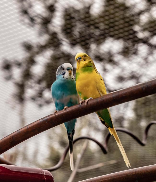 is romaine lettuce safe for budgies?