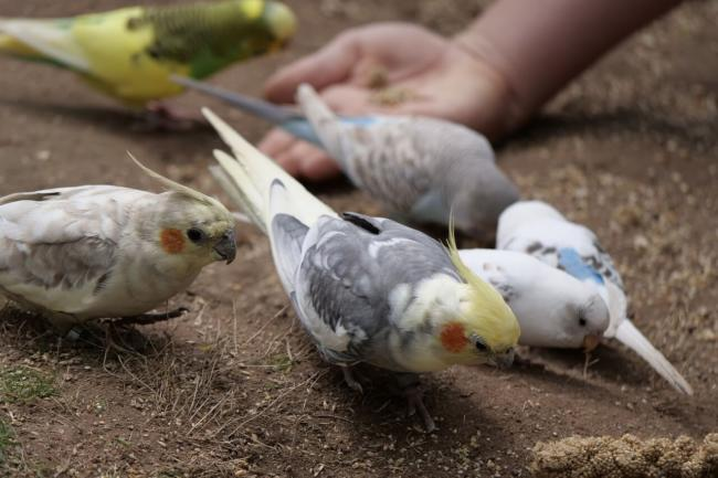 Budgies And Cockatiels Together