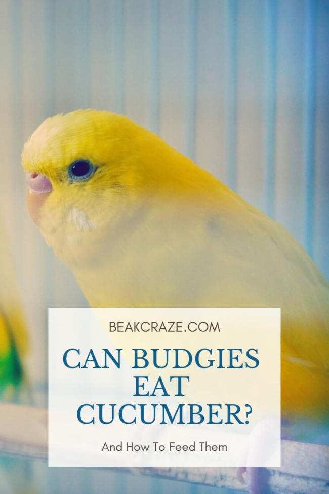 Can Budgies Eat Cucumber?