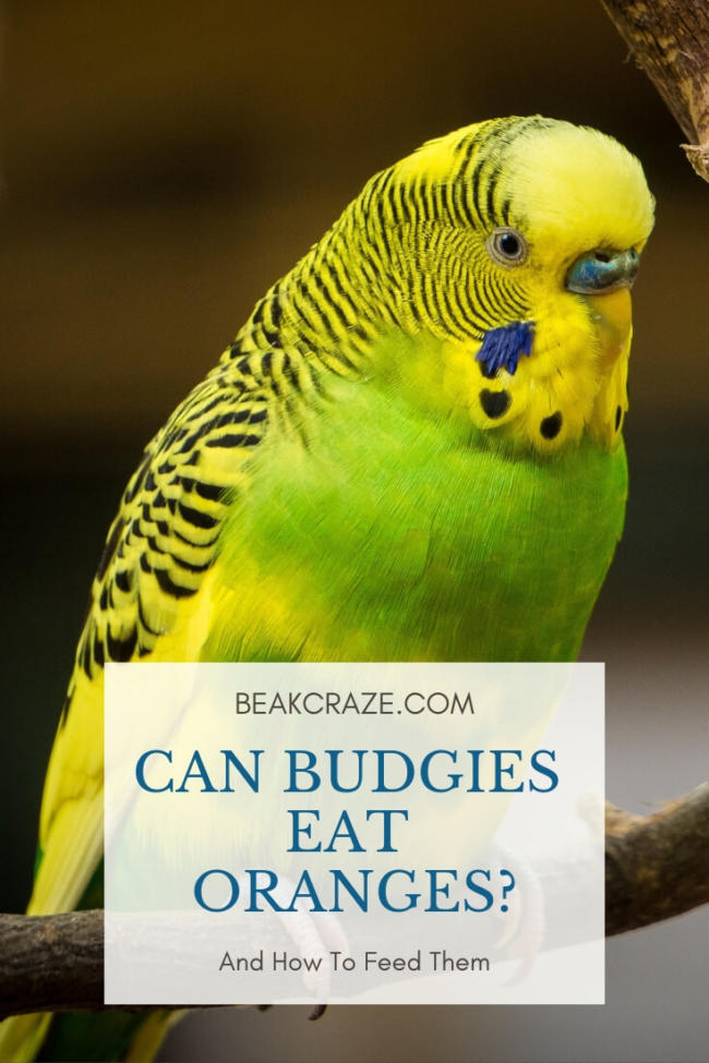 Can Budgies Eat Oranges?