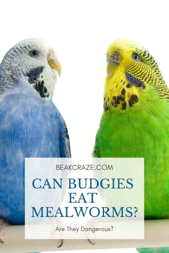 Can Budgies Eat Mealworms?
