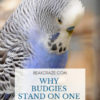 Why Do Budgies Stand On One Foot?