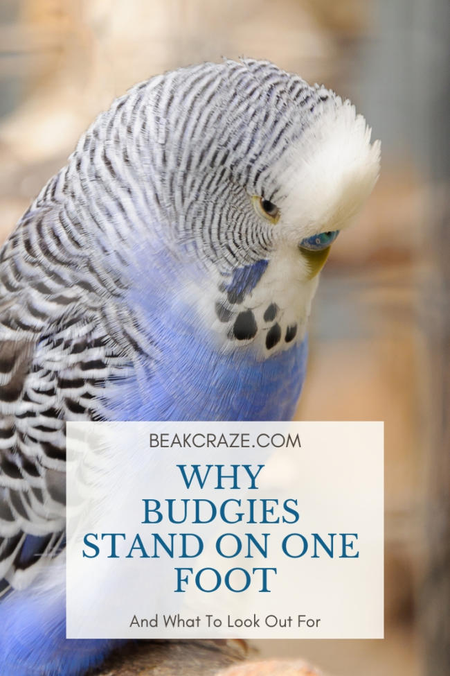 Why Do Budgies Stand On One Foot? – Beak Craze