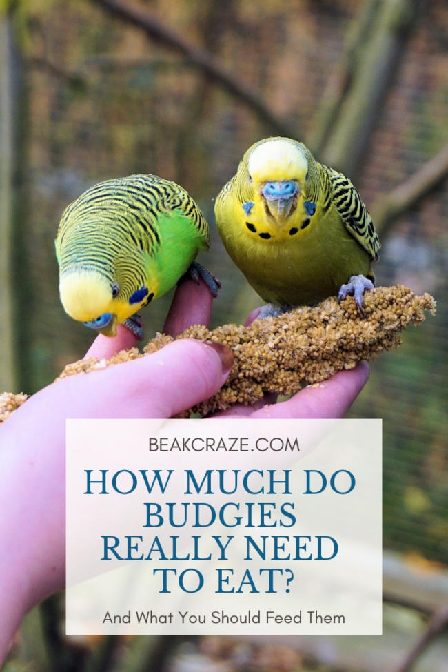 How Much Do Budgies Eat?