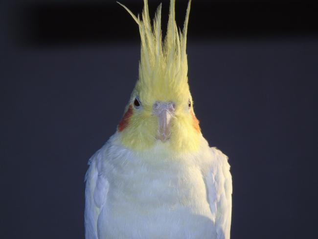 Why Is My Cockatiel Biting