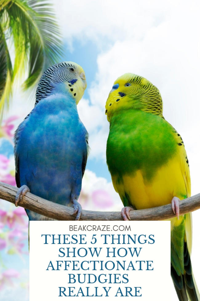Are Budgies Affectionate?