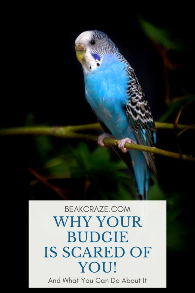 Why is my budgie scared of me?