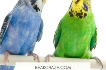 Are Budgies Loud?