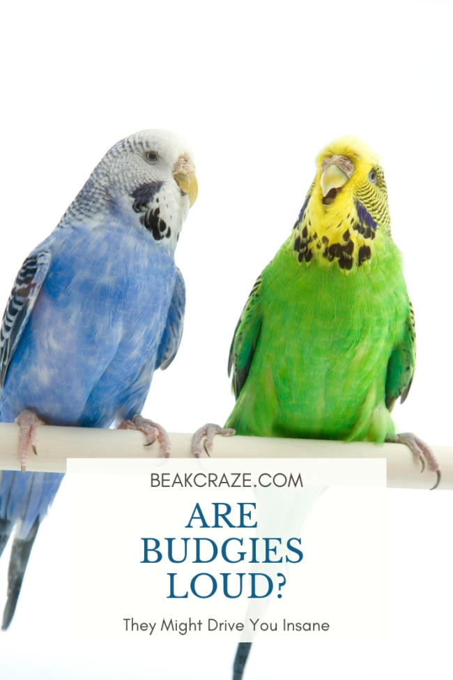 Budgies Aren't Loud But THIS Might Drive You Insane – Beak Craze