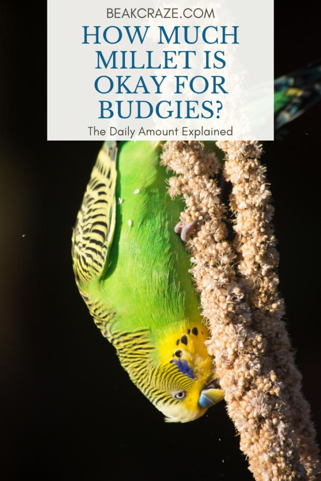 How Much Millet Should You Feed Your Budgie? – Beak Craze