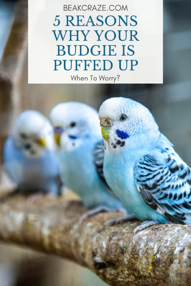 Why is my budgie puffed up?