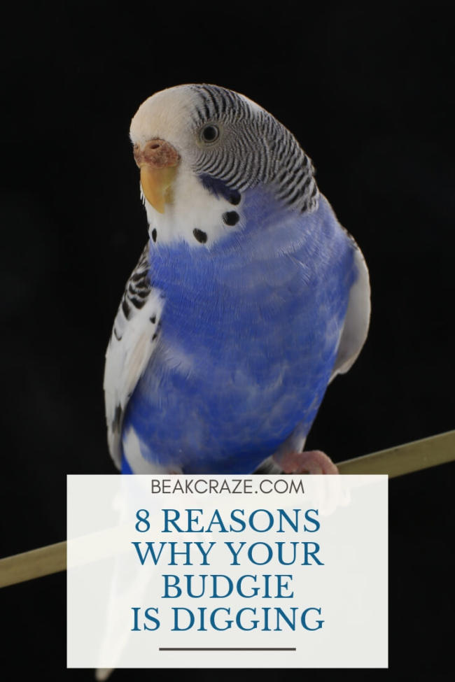 8 Reasons Why Your Budgie Is Digging – Beak Craze