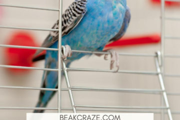 Why is my budgie walking side to side?