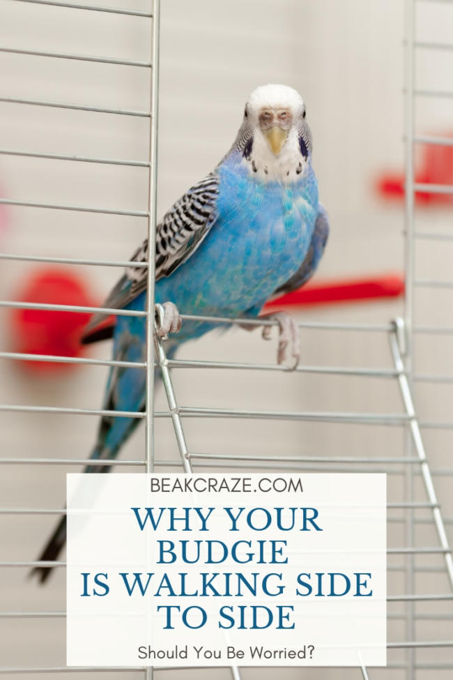 Why Your Budgie Is Walking Side To Side In Its Cage – Beak Craze