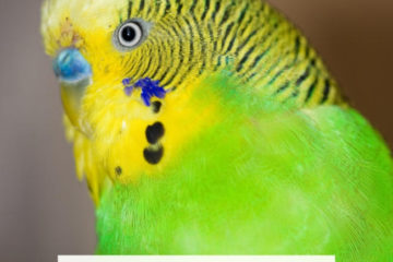 Why is my budgie sneezing?