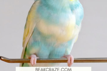 Why is my budgie flapping his wings?