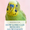 How long can budgies go without water?