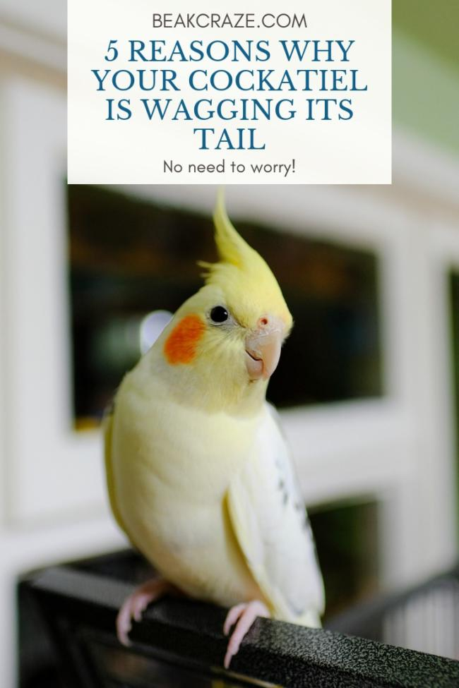 Why is my cockatiel wagging its tail?