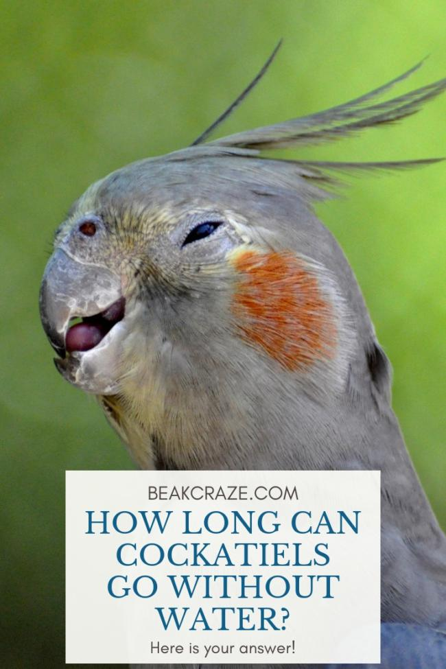 How long can cockatiels go without water?