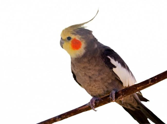 Can a Cockatiel eat blueberry seeds?