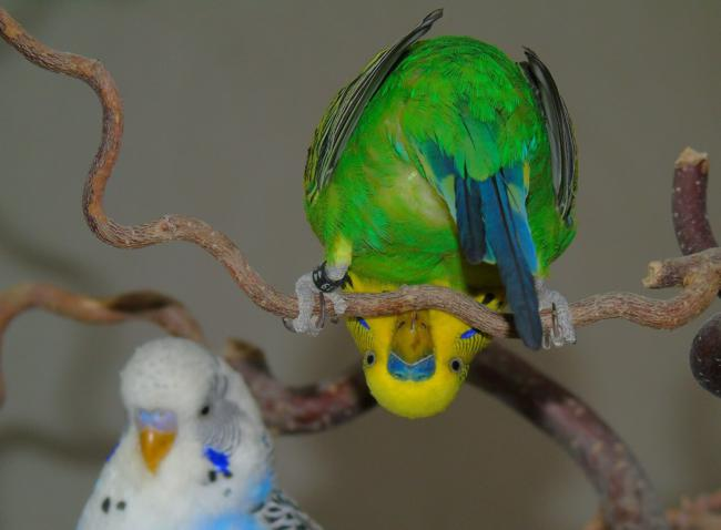 The Reason Why Your Budgie Is Flapping His Wings – Beak Craze