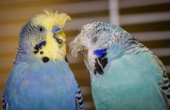 Budgies are one of the most affectionate bird species