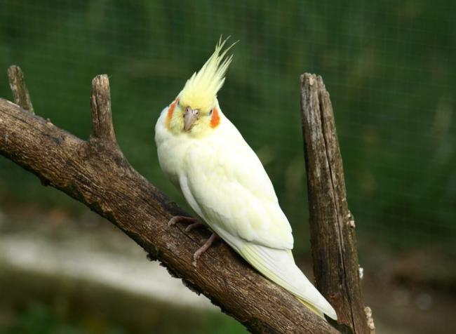 Can Cockatiels die from eating cauliflower?