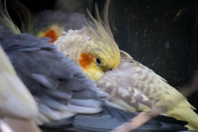 Are Oats healthy for Cockatiels?
