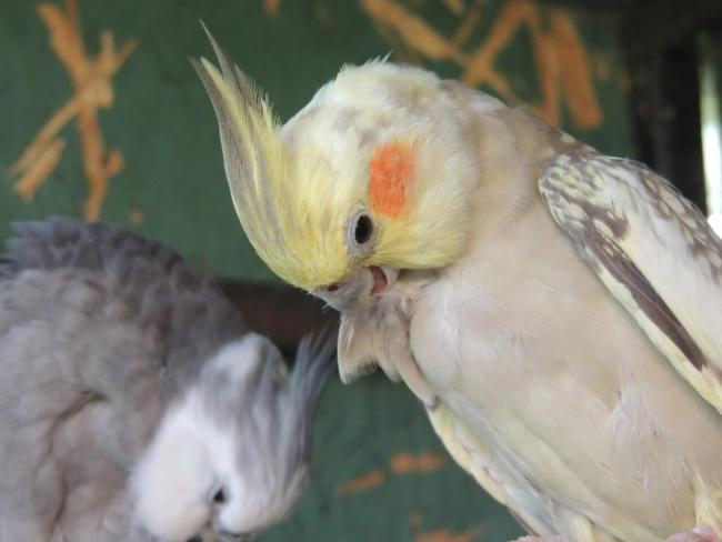 Cockatiel Hissing Reasons
