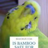 Is bamboo safe for budgies?